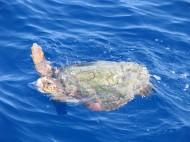Южно Йонийско море-костенурка