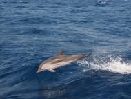 животни-делфини